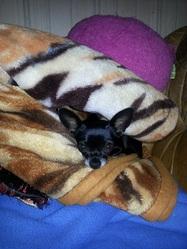 Gothika, chien Chihuahua