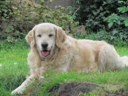 Gotten, chien Golden Retriever