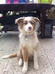 Gouache, chien Berger australien