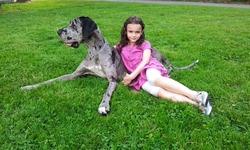 Gouache, chien Dogue allemand