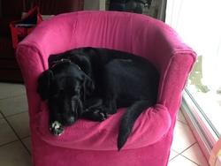 Gouache, chien Labrador Retriever
