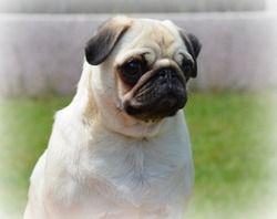 Goudelux, chien Carlin