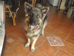 Gouleps, chien Berger allemand