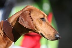 Goumsao De Nulle Part Ailleurs, chien Azawakh