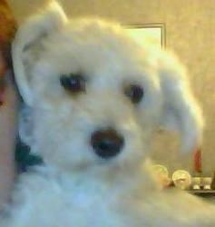 Goupi, chien Bichon à poil frisé