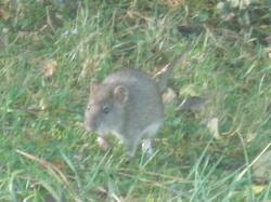 Goupi, rongeur Rat