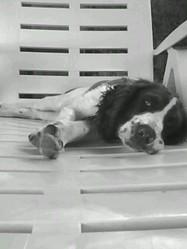 Goupil, chien