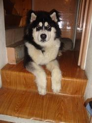 Gourcuff , chien Malamute de l'Alaska