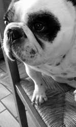 Goutch, chien Bouledogue français