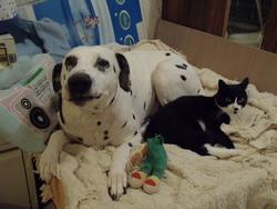Gover, chien Dalmatien