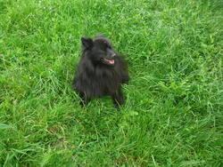 Govou, chien Spitz allemand
