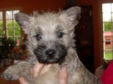 Gowan, chien Cairn Terrier