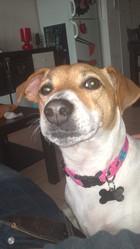 Goya, chien Jack Russell Terrier