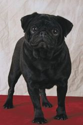 Goyave, chien Carlin