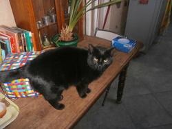 Goyave, chat Européen