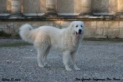 Goyesca-Alma De Bigerionnes, chien Chien de montagne des Pyrénées