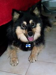 Gozen Tomoe  Dit Tomoe  , chien Chien finnois de Laponie
