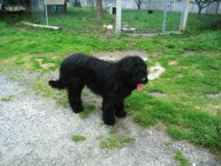 Grabouille, chien Berger de Brie
