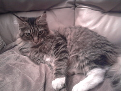 Grace, chat Maine Coon