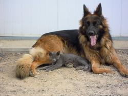 Grace, chien Berger allemand