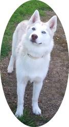 Grace, chien Husky sibérien