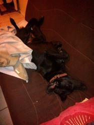 Gracie, chien Labrador Retriever