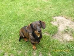 Gracy, chien Teckel