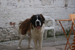 Gracy, chien Saint-Bernard