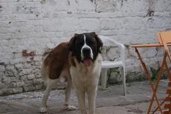 Gracy, chien Saint-Bernard