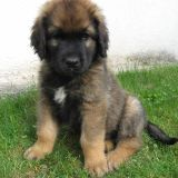 Graf, chien Leonberger