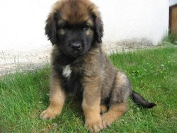 Graf Goodness, chien Leonberger
