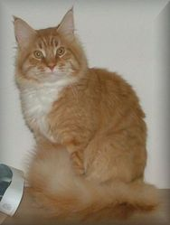 Graham De L'Orée Boréale, chat Maine Coon