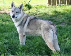 Graig , chien Chien-loup tchèque