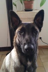 Granada, chien Berger belge
