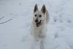 Grandbidou, chien Berger blanc suisse