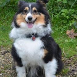 Granny, chien Berger des Shetland