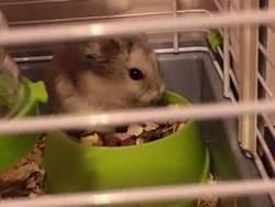 Granola , rongeur Hamster