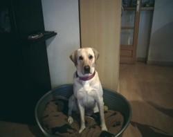 Graphe, chien Labrador Retriever