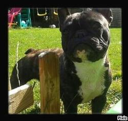 Gratchi, chien Bouledogue français