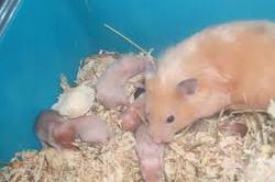 Gratis Et Elenna, rongeur Hamster