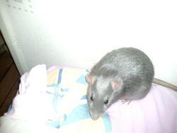Graton, rongeur Rat