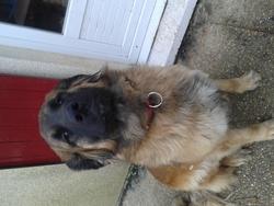 Grayce, chien Leonberger