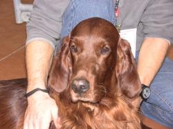 Great Irish Of Tradition, chien Setter irlandais