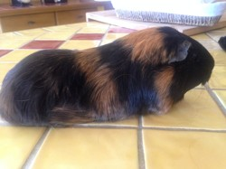 Greeicy, rongeur Cochon d'Inde