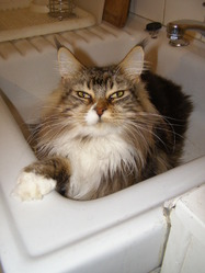 Greg H , chat Maine Coon