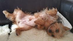 Grelot, chien Yorkshire Terrier