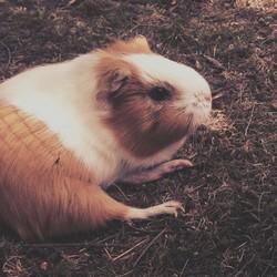 Grelot - Rip, rongeur Cochon d'Inde