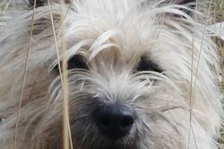 Gremline, chien Cairn Terrier