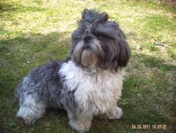 Gremlins, chien Shih Tzu