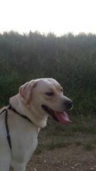 Grenade, chien Labrador Retriever